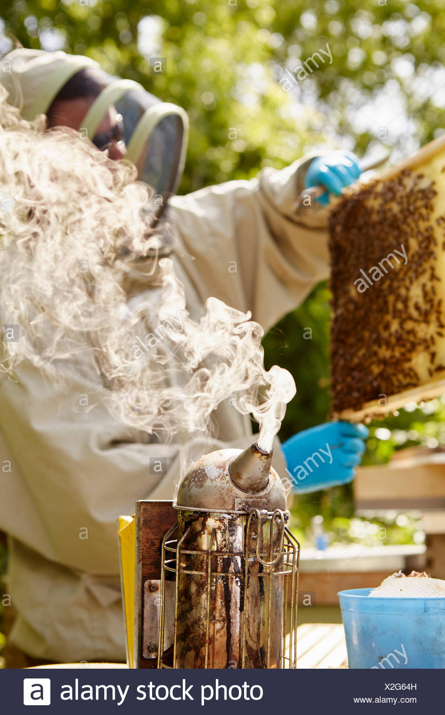 A beekeeper in a beekeeping suit with a smoker, opening and checking his hives. - Stock Image