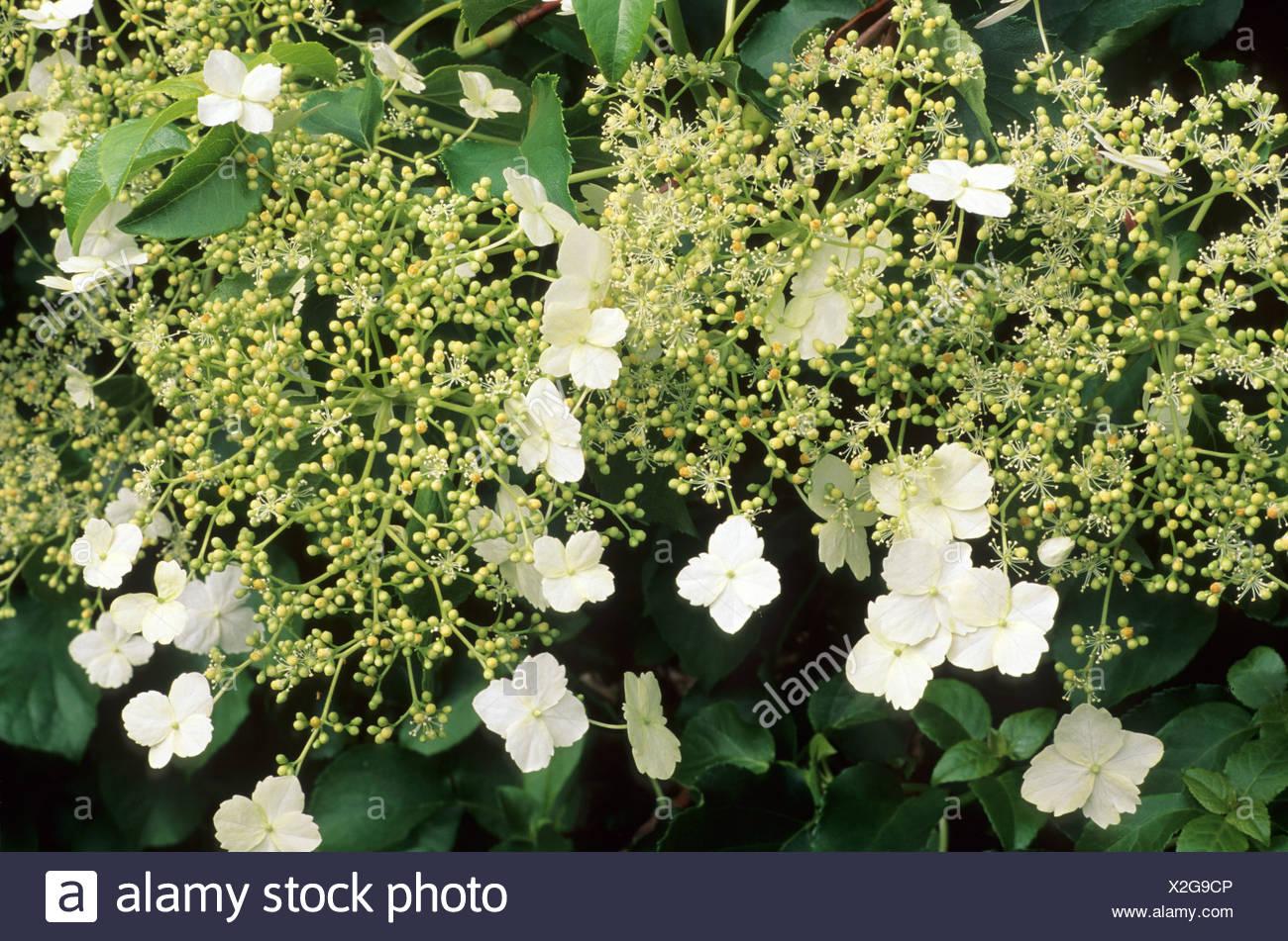 Hydrangea anomala subsp petiolaris white flowers hydrangeas stock hydrangea anomala subsp petiolaris white flowers hydrangeas mightylinksfo