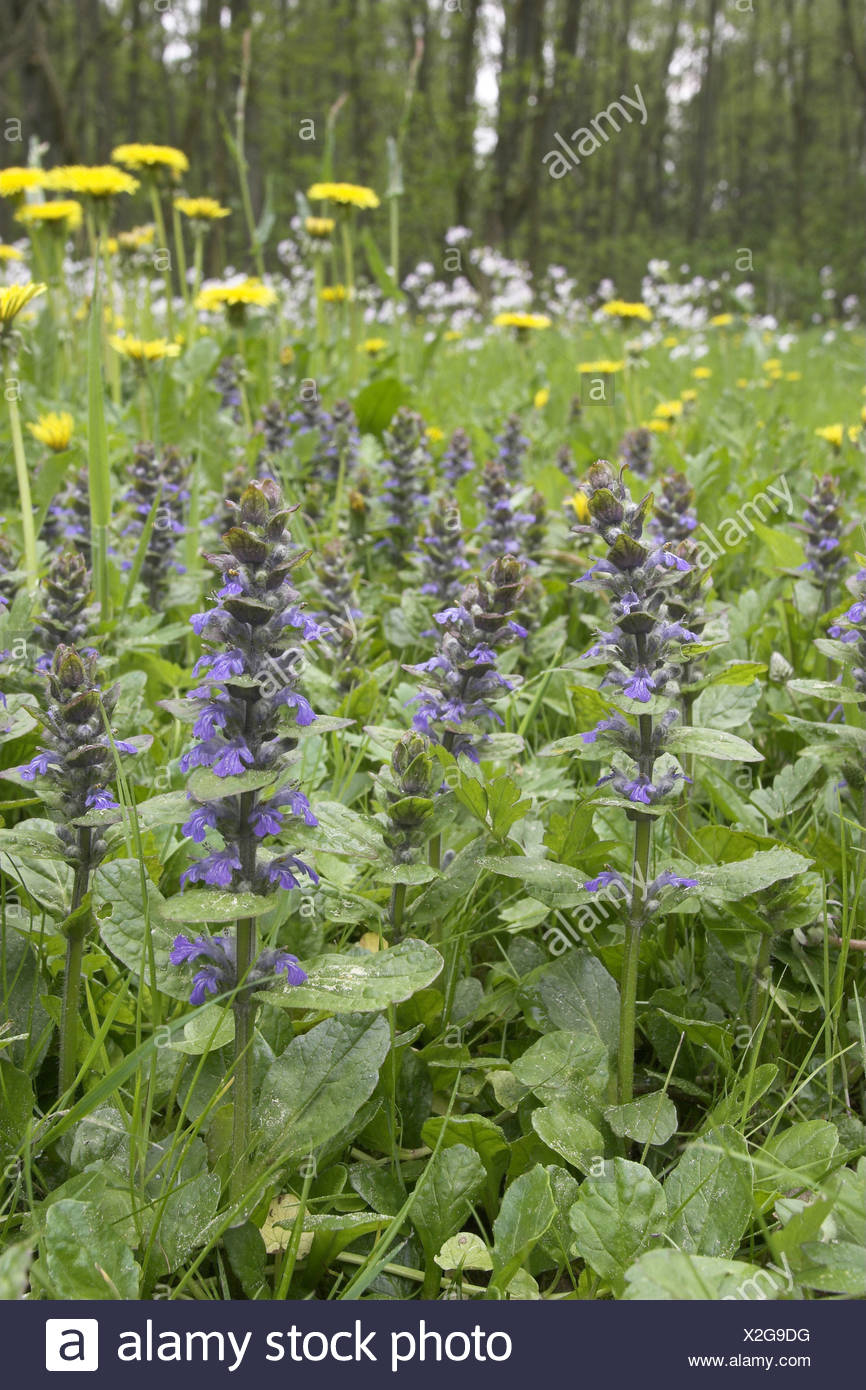 common bugle, creeping bugleweed (Ajuga reptans), in a meadow with common dandelion and cuckooflower, Germany Stock Photo