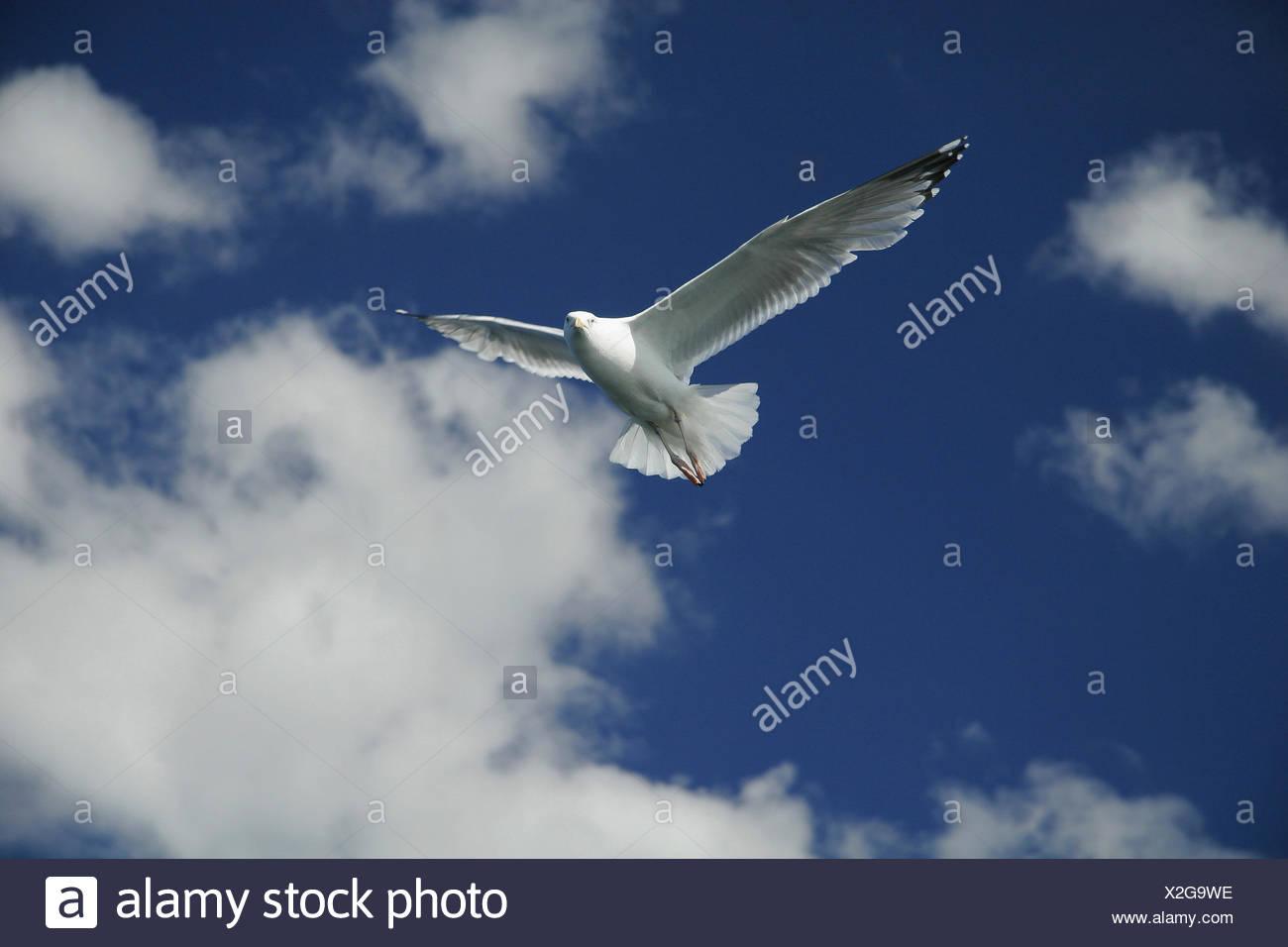 Norwegen, Norge, Norway, Mittelnorwegen, Europa, Insel Hitra, blauer, Himmel, fliegen, Flug, Moewe, Moewen, Skandinavien, Voegel - Stock Image