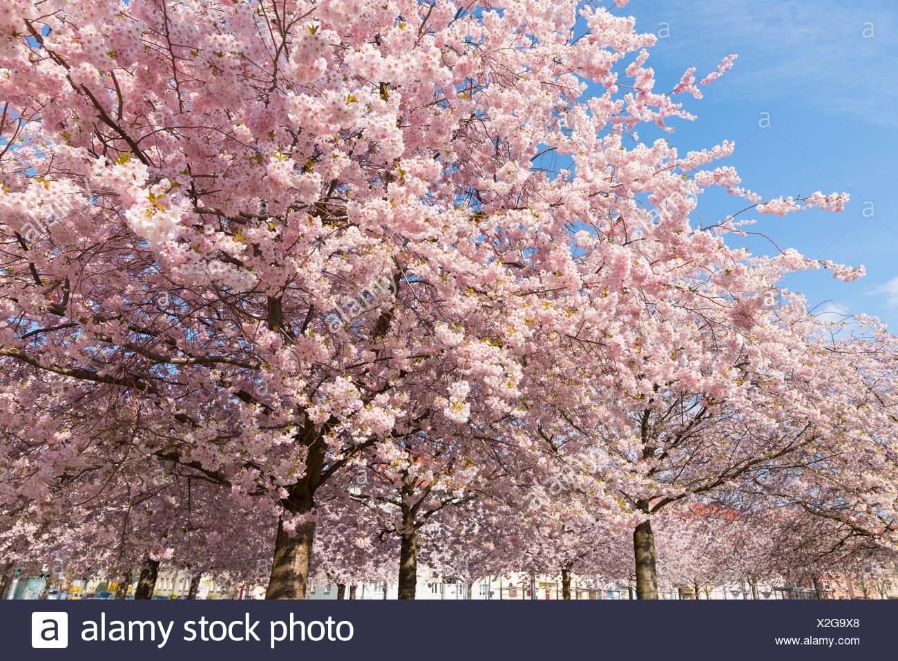Japanese cherry (Prunus serrulata) in blossom, Erfurt, Thuringia, Germany - Stock Image
