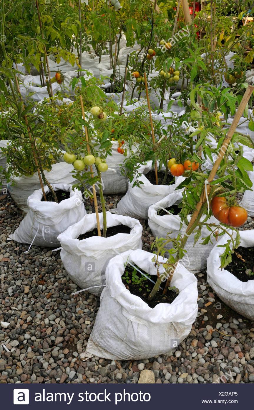 Tometoes in rice bags / (Solanum lycopersicum) - Stock Image