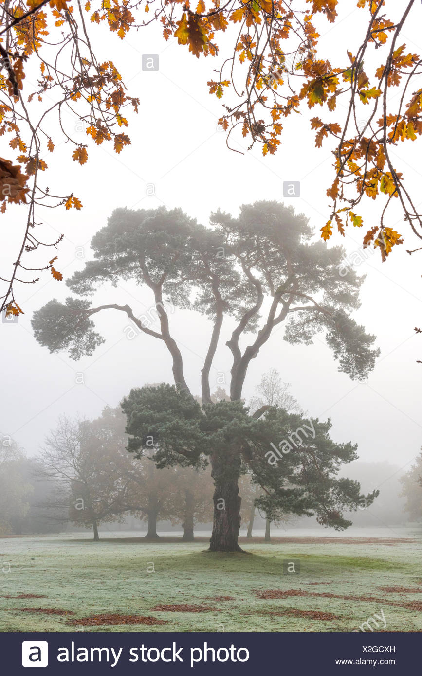 Scots pine in autumn mist. - Stock Image