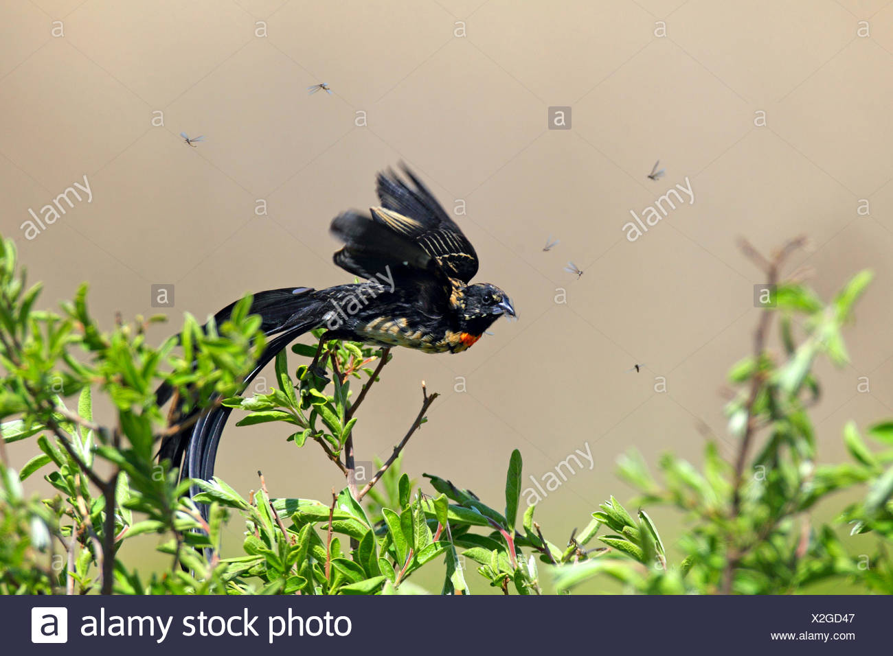 red-collared whydah (Euplectes ardens), male flys off a shrub, South Africa, North-West Province, Kgaswane Mountain Reserve - Stock Image
