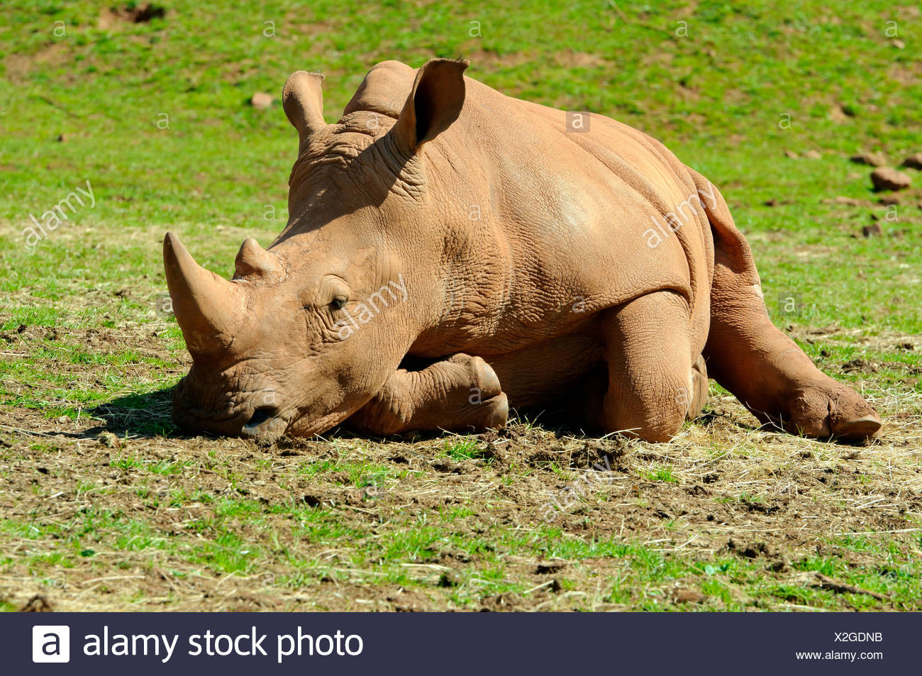 big large enormous extreme powerful imposing immense relevant animal mammal brown brownish brunette horn largely wildlife - Stock Image
