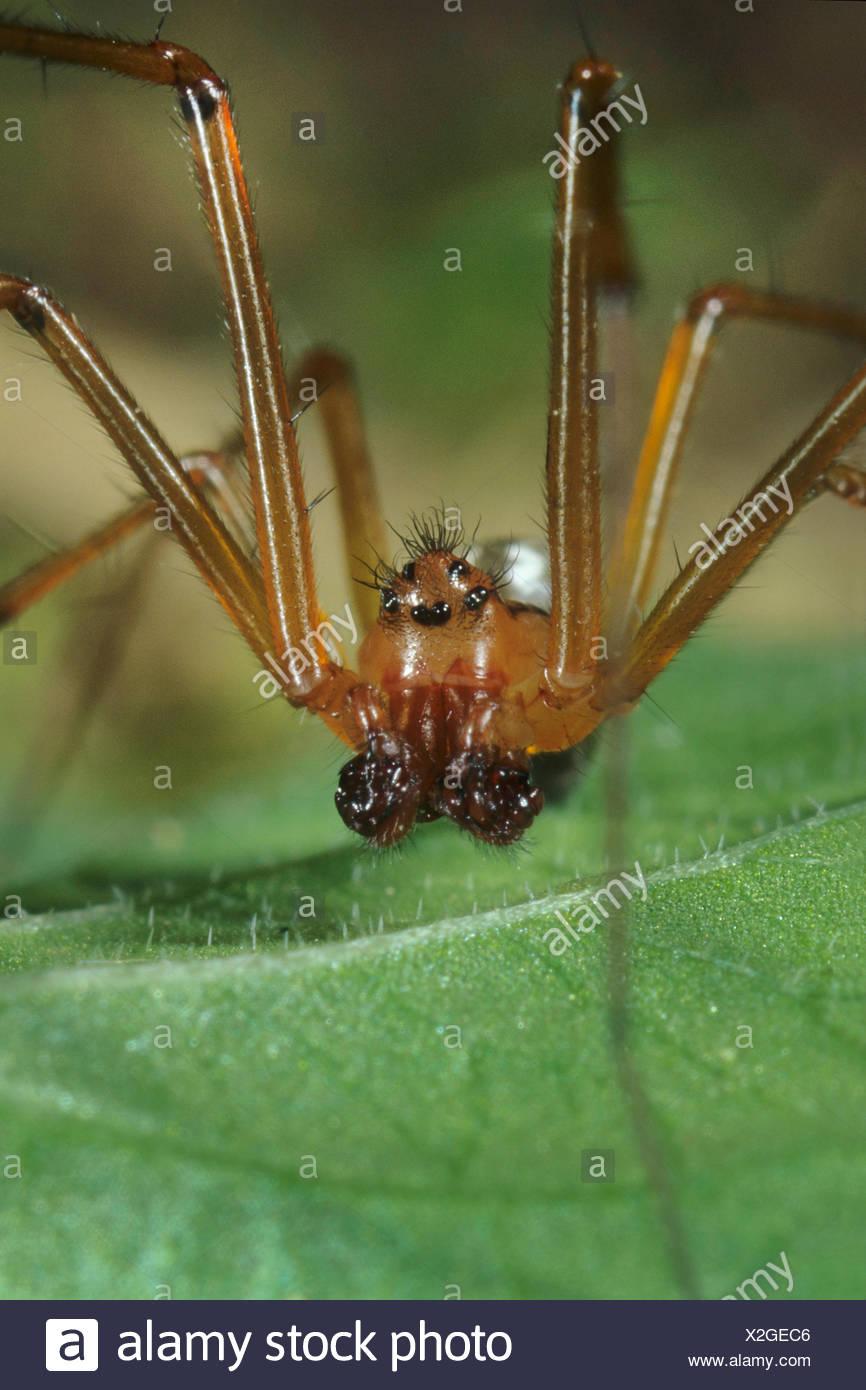 Deckennetzspinne, Deckennetz-Spinne, Floronia bucculenta (Floronia bucculenta), Maennchen, Deutschland   Floronia spider (Floron - Stock Image