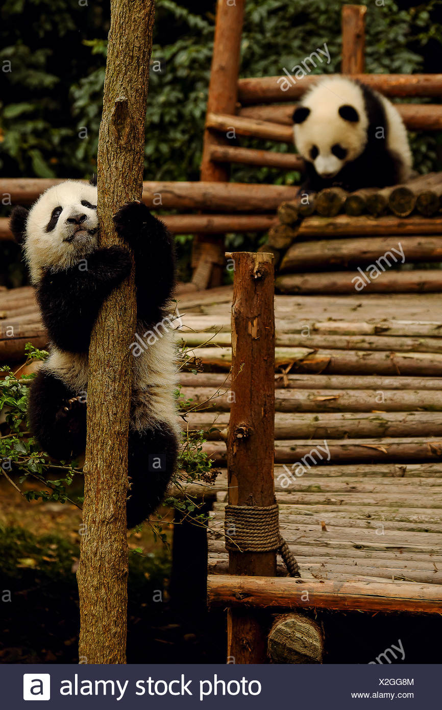 Pandas in captivity at the Chengdu Panda Breeding Center. - Stock Image