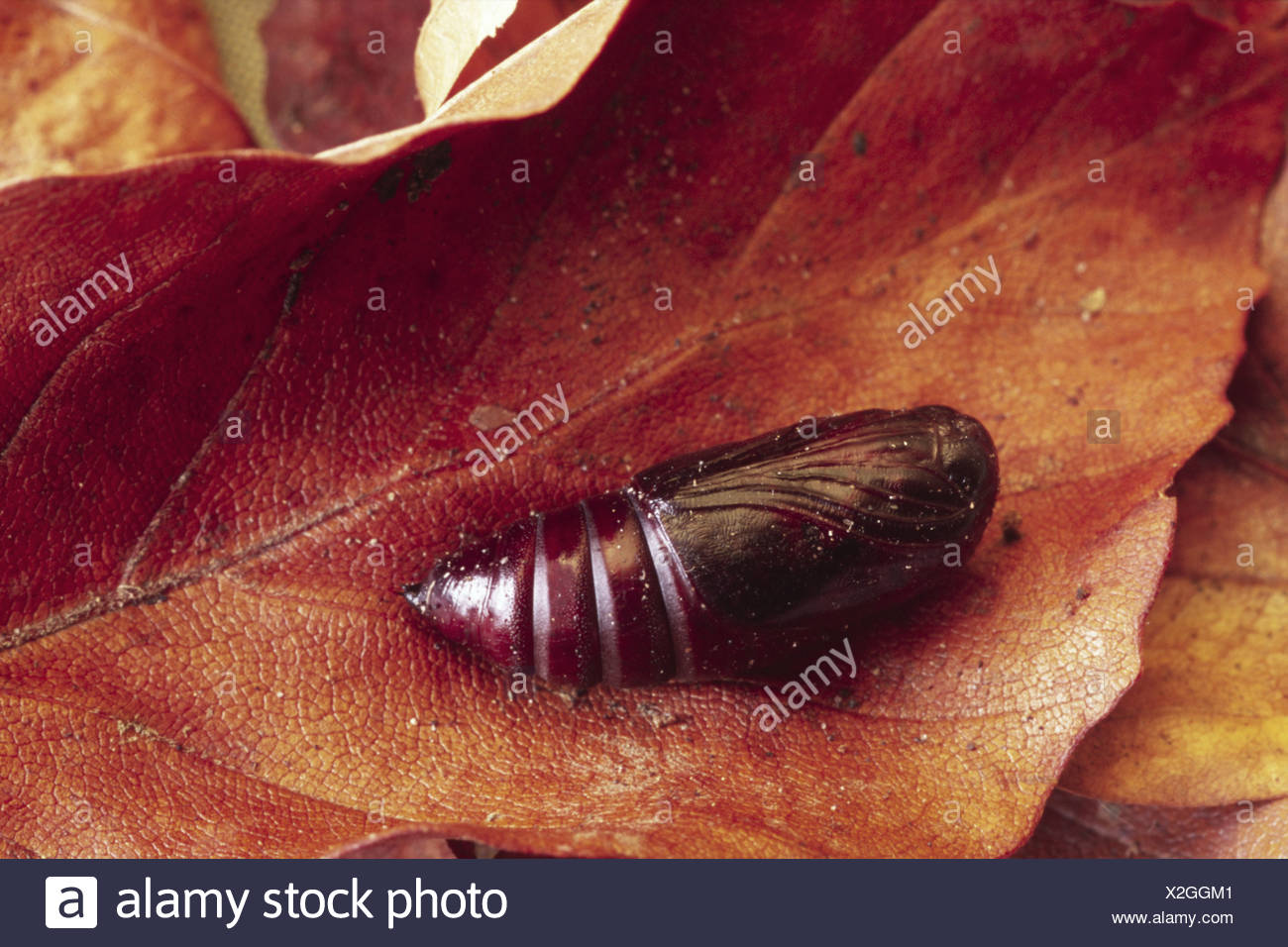 caterpilllar gothica hebrew character insect bug nature natural wild wildlife environment environmental europe european powys - Stock Image