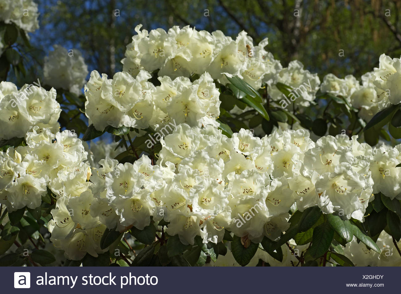 White Flowered Rhododendron Stock Photo 276960151 Alamy