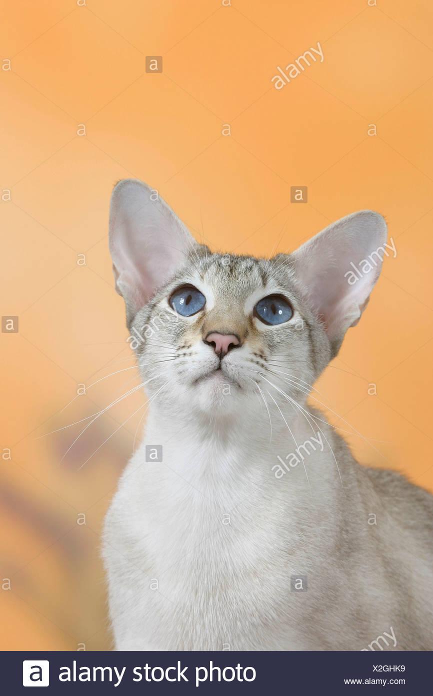 Tabby Point Siamese Cat Stock Photos Tabby Point Siamese Cat Stock