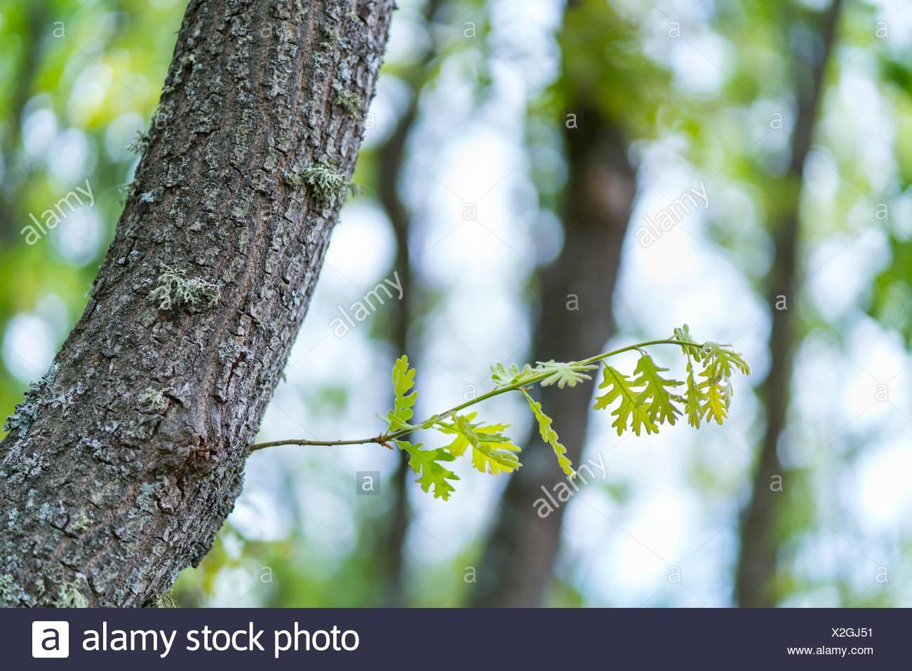 Pyrenean Oak forest, Sierra de Guadarrama, Madrid, Spain, Europe. Stock Photo