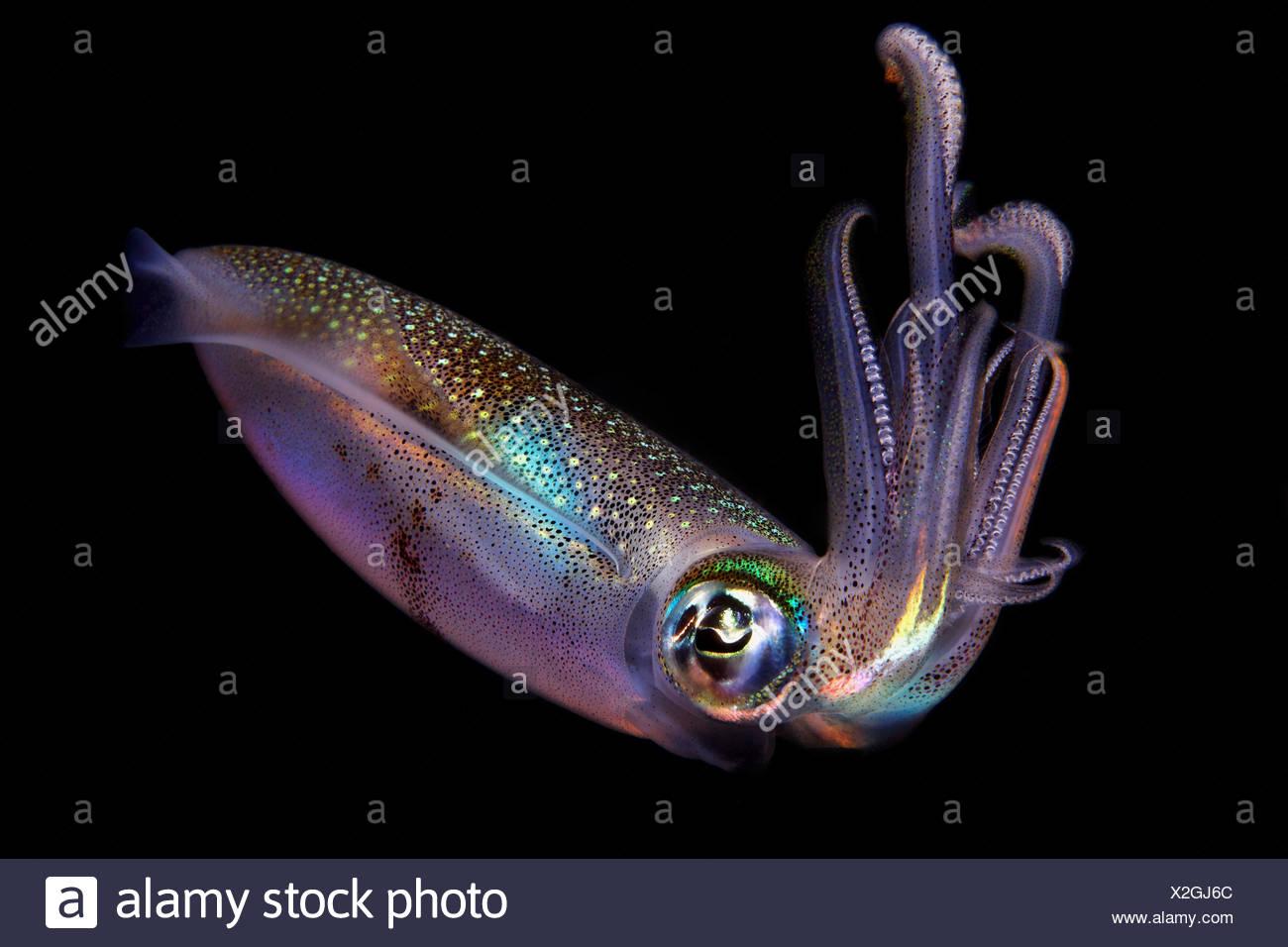 Bigfin reef squid (Sepioteuthis lessoniana), near Dumaguete, Dauin, Philippines, Pacific Ocean, underwater shot - Stock Image