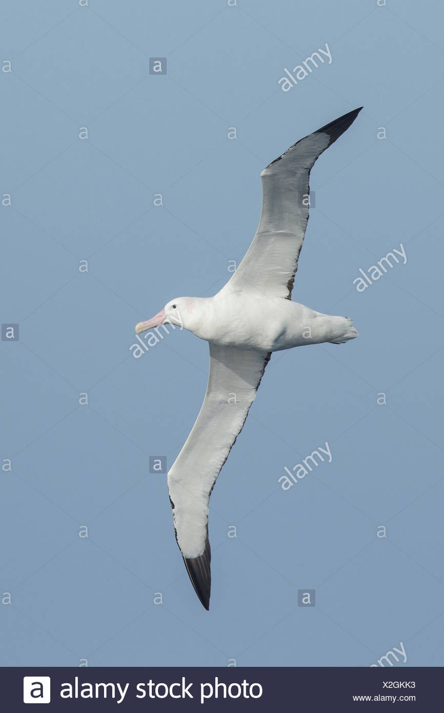 Wandering Albatross (Diomedea exulans) flying over the ocean searching for food near South Georgia Island. - Stock Image