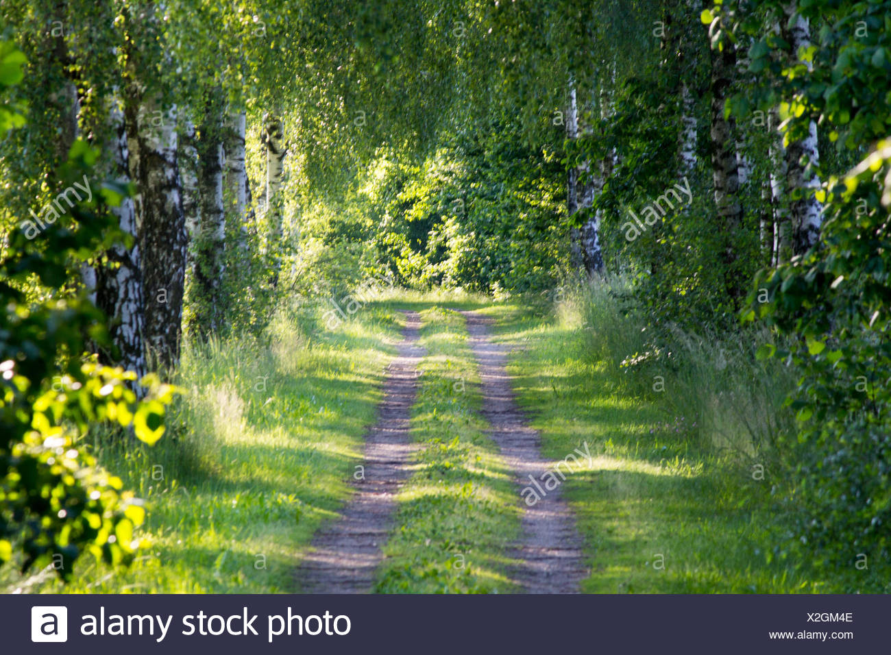Two traces - Birch allee Stock Photo