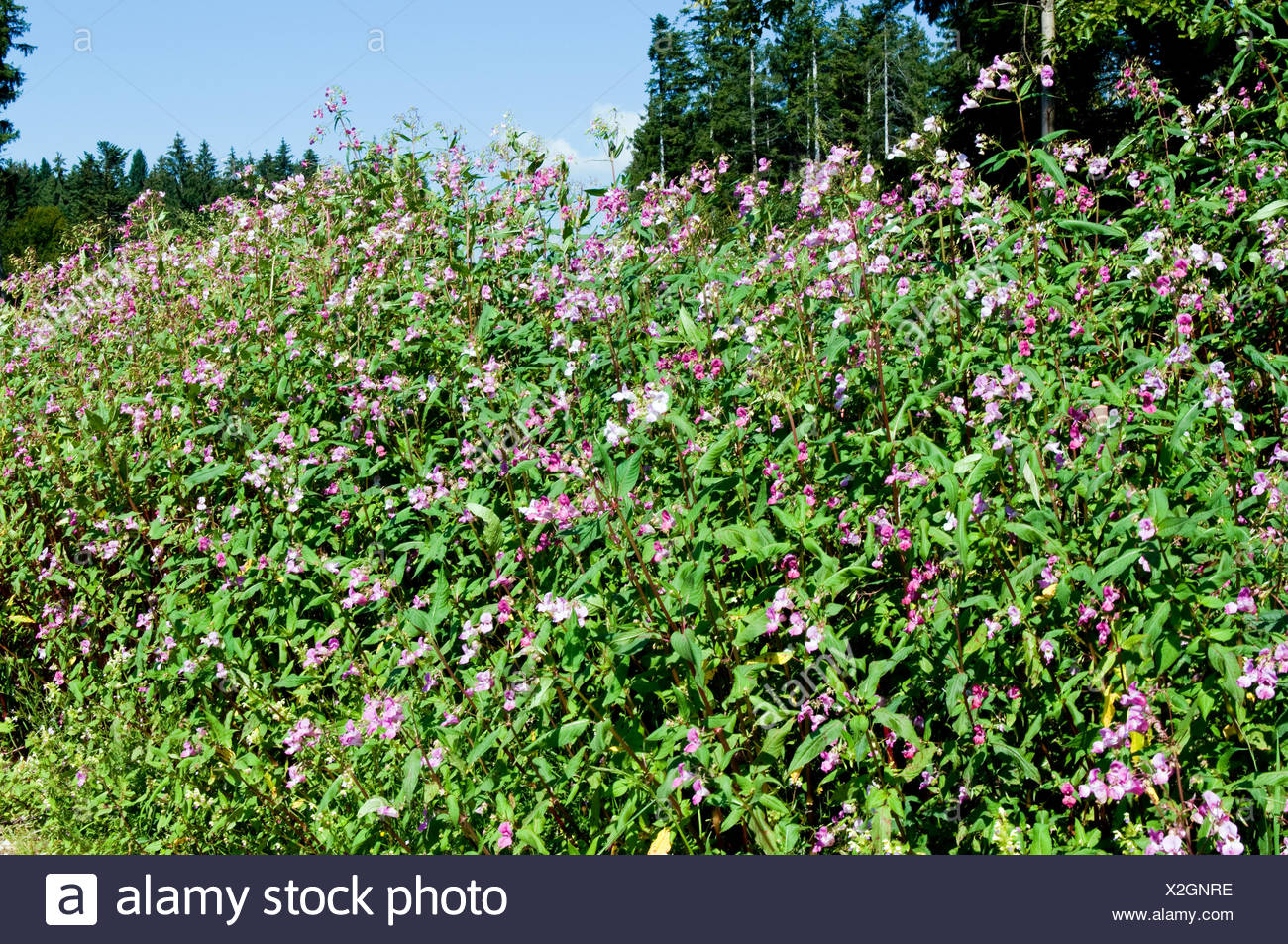 Indisches Springkraut / Himalayan Balsam Stock Photo