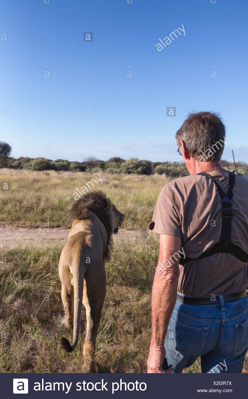 Animal ranger walking with male lion(Panthera leo), Namibia Stock Photo