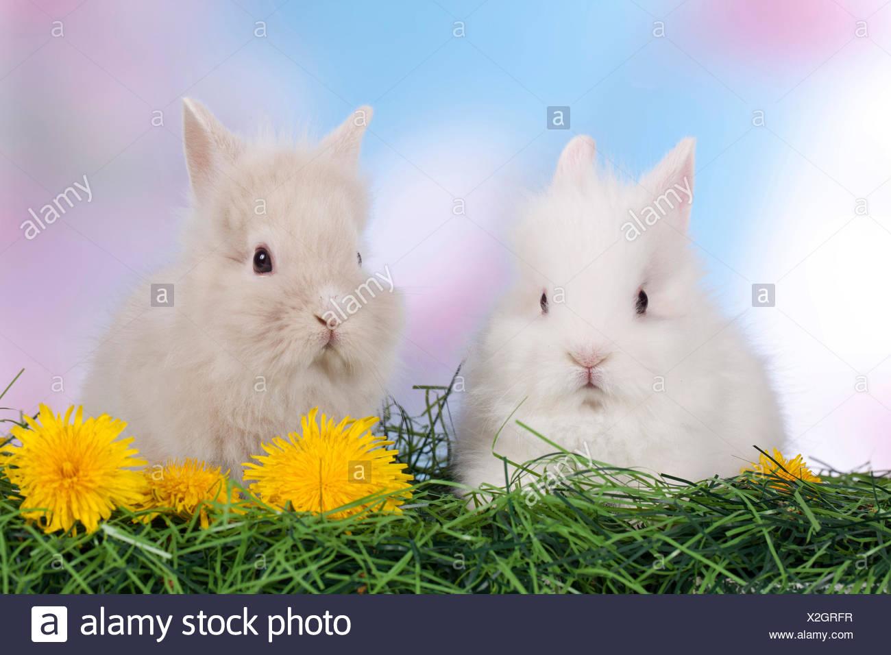 Dwarf Rabbit, Lionhead Rabbit Two individuals grass Dandelion flowers - Stock Image