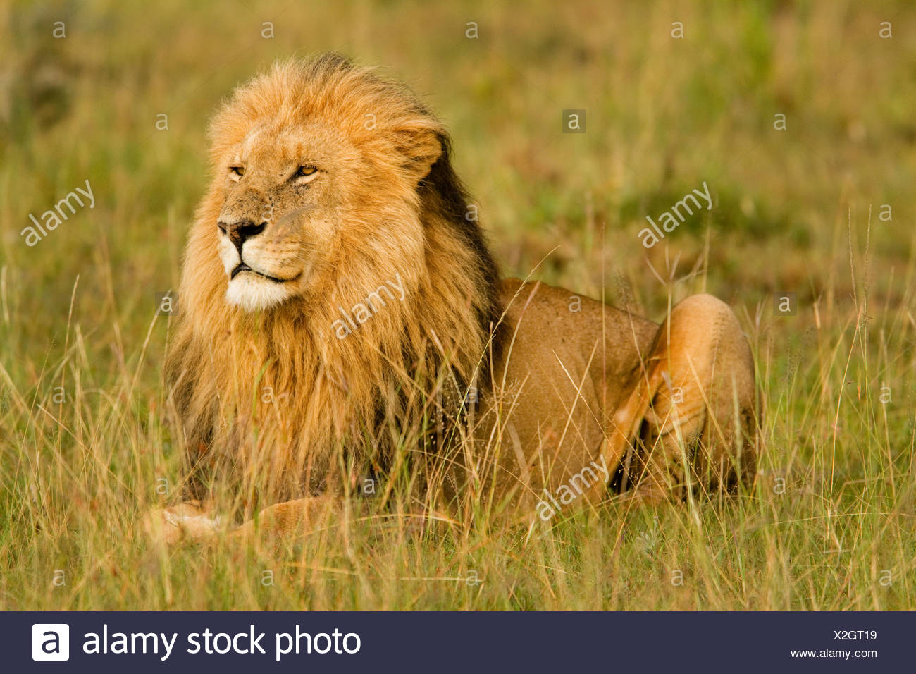 Lions keep an eye over their Masai Mara, Kenya domain. - Stock Image