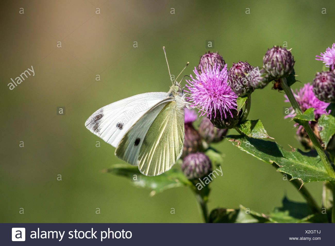 Cabbage White (Pieris rapae) male on Canada Thistle (Cirsium arvense), both the butterfly and thistle were introduced to Canada and are widespread - Stock Image