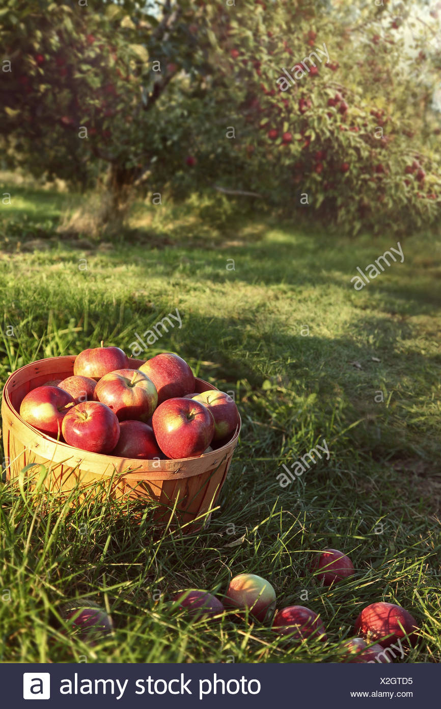Bushel of red apples in the orchard Stock Photo