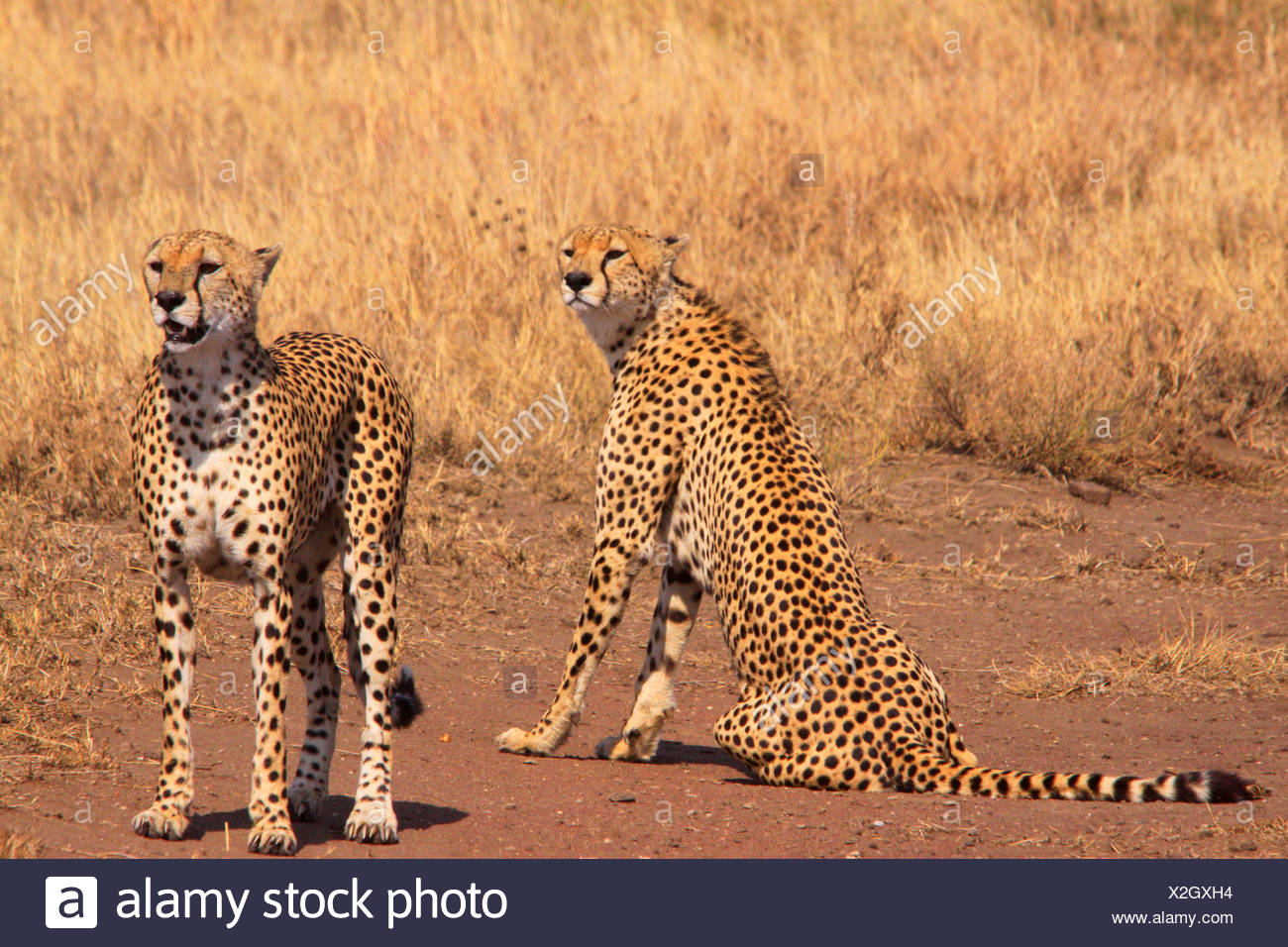 cheetah (Acinonyx jubatus), in the feed, Tanzania, Serengeti National Park - Stock Image
