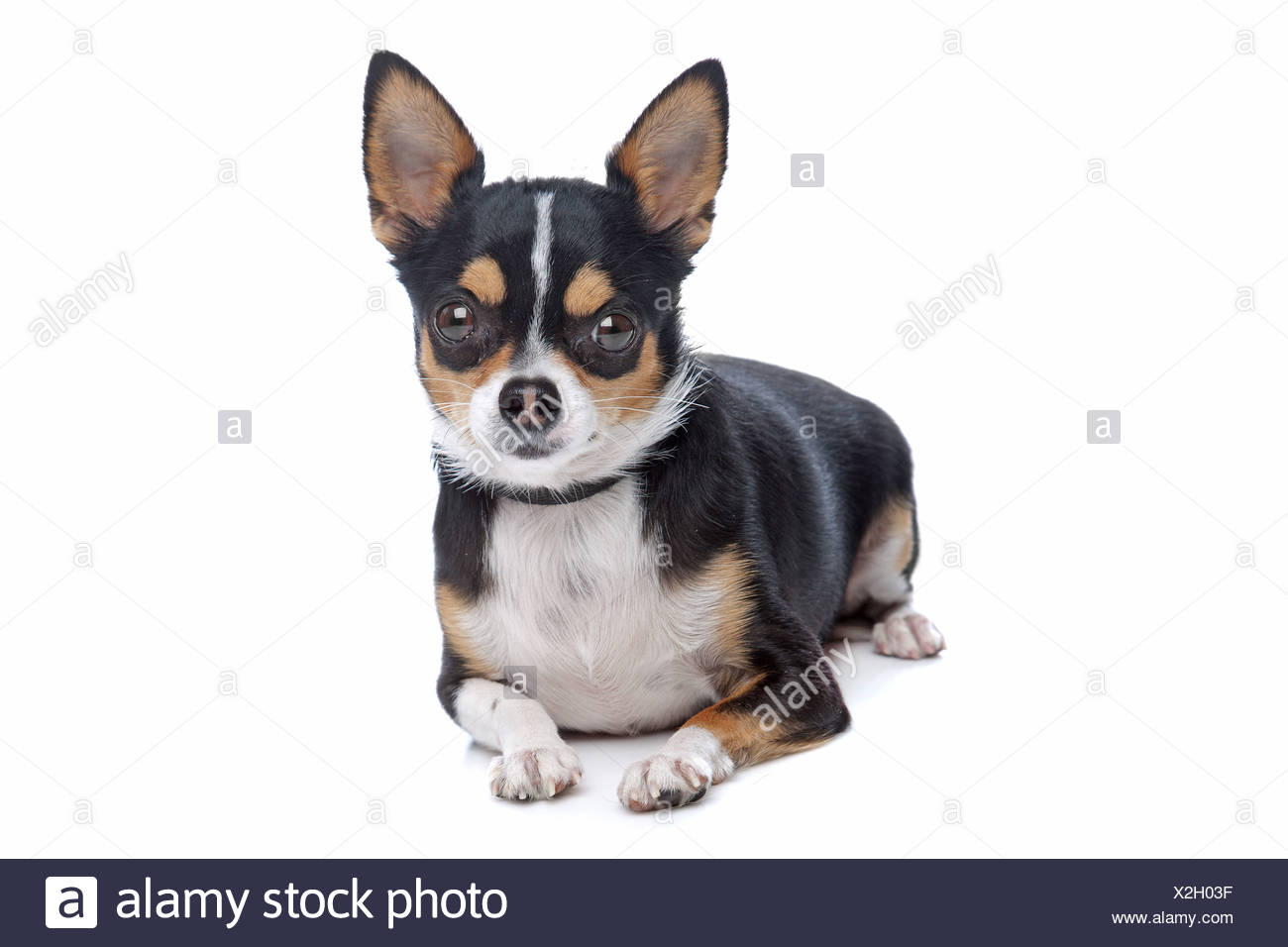 Tricolor Chihuahua Stock Photos Tricolor Chihuahua Stock Images