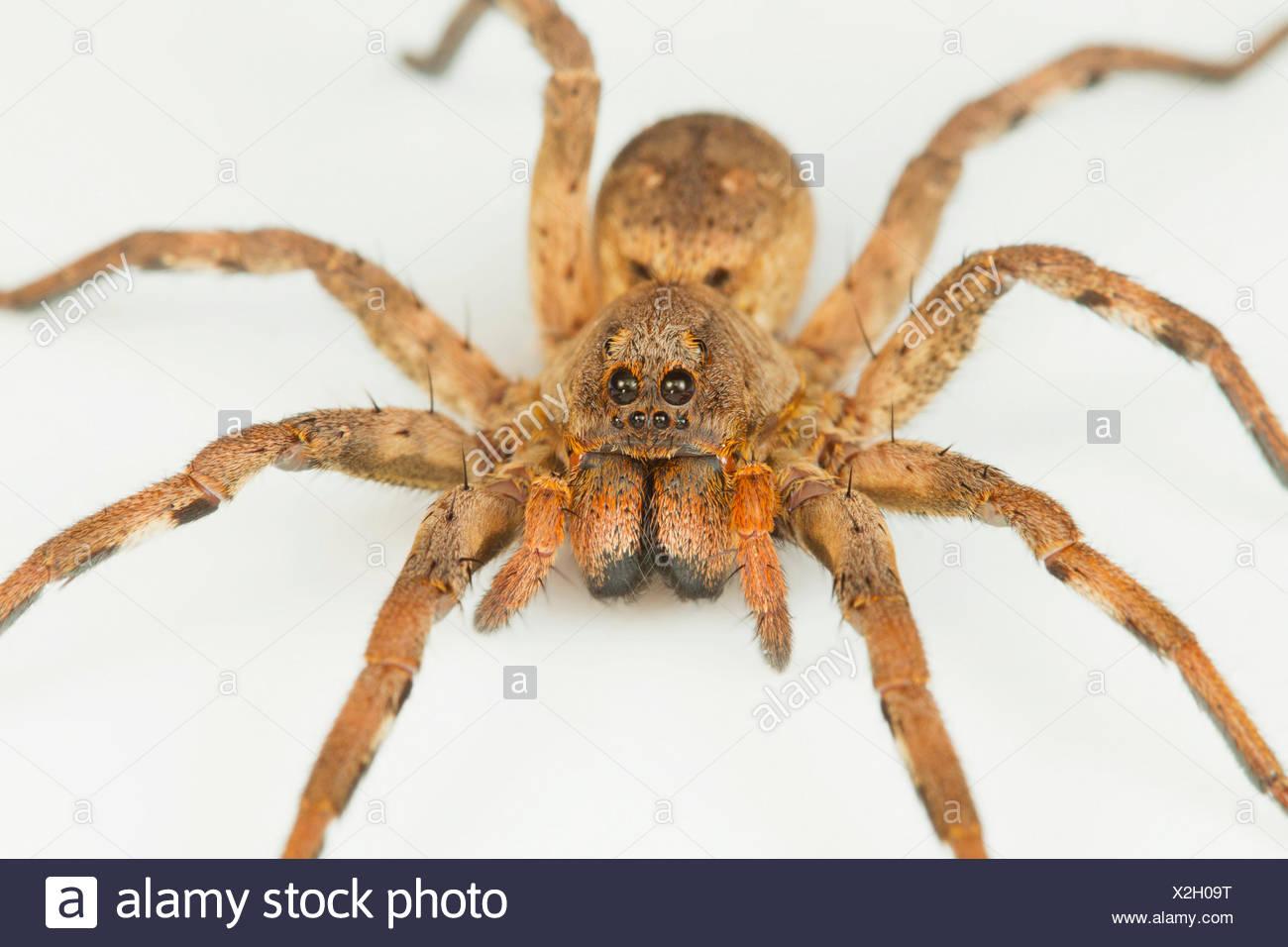 Wolf spider, Pardosa sp., Lycosidae NCBS, Bangalore, India - Stock Image