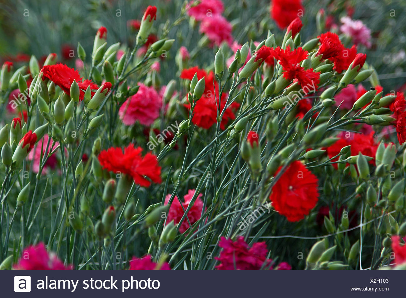 flower plant green carnation bloom blossom flourish flourishing coloured - Stock Image