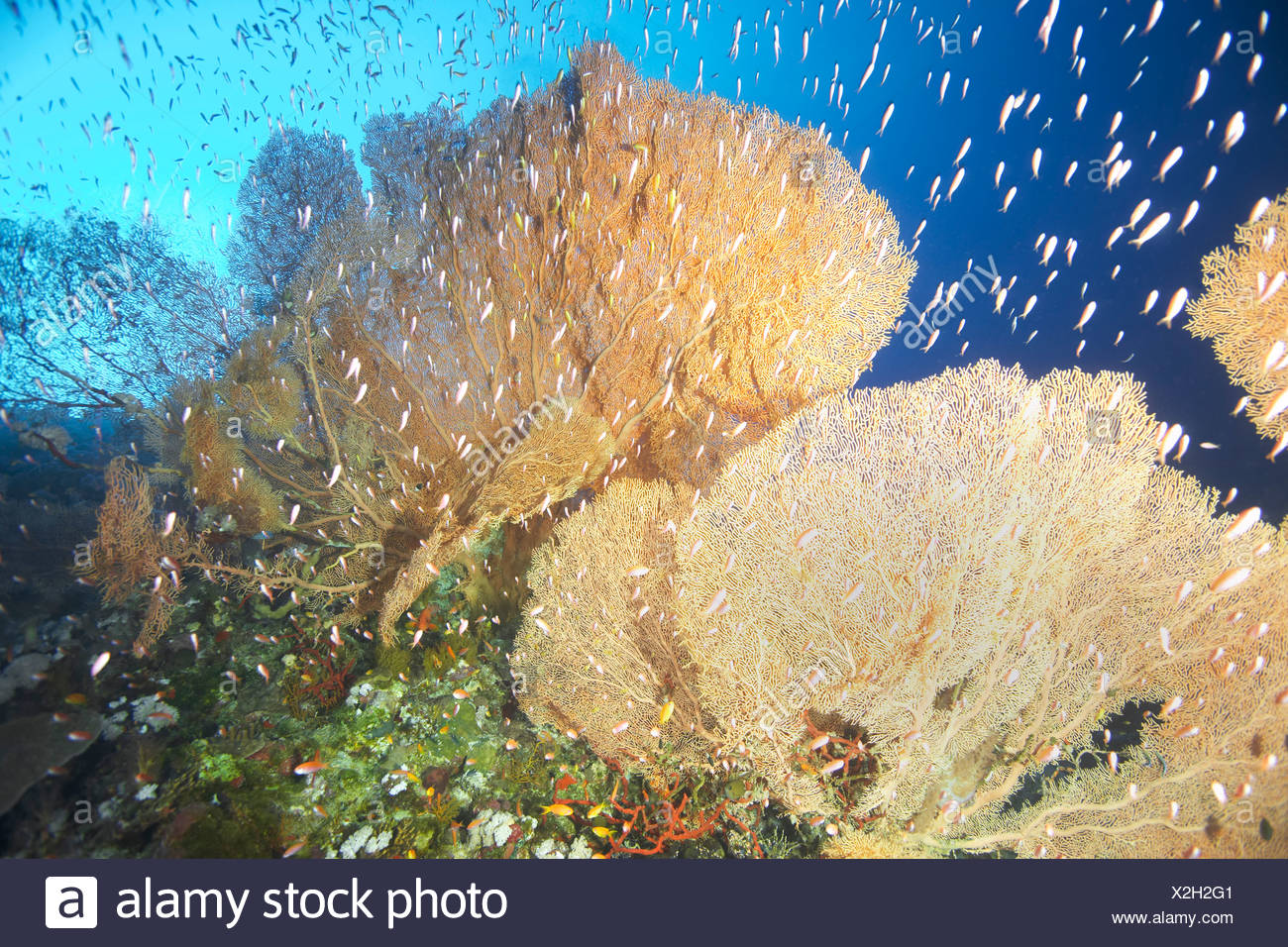 Giant fan coral - Stock Image