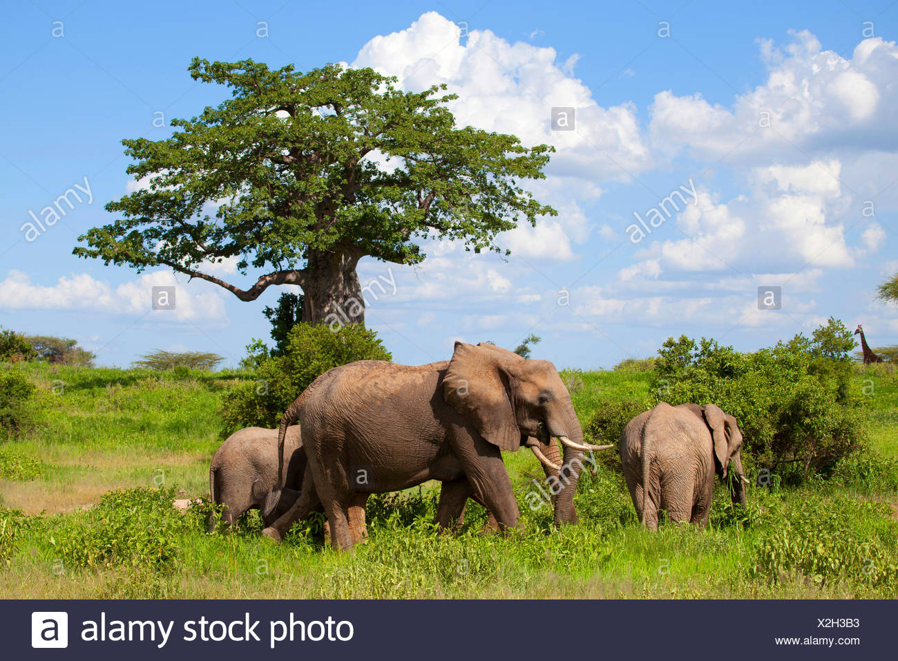 African elephant (Loxodonta africana), cow elephant with young animals at an umbrella thorn, Kenya - Stock Image