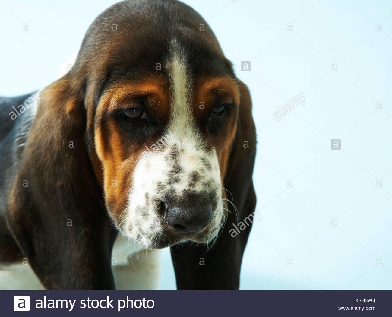 Close-up of basset hound face, studio shot - Stock Image