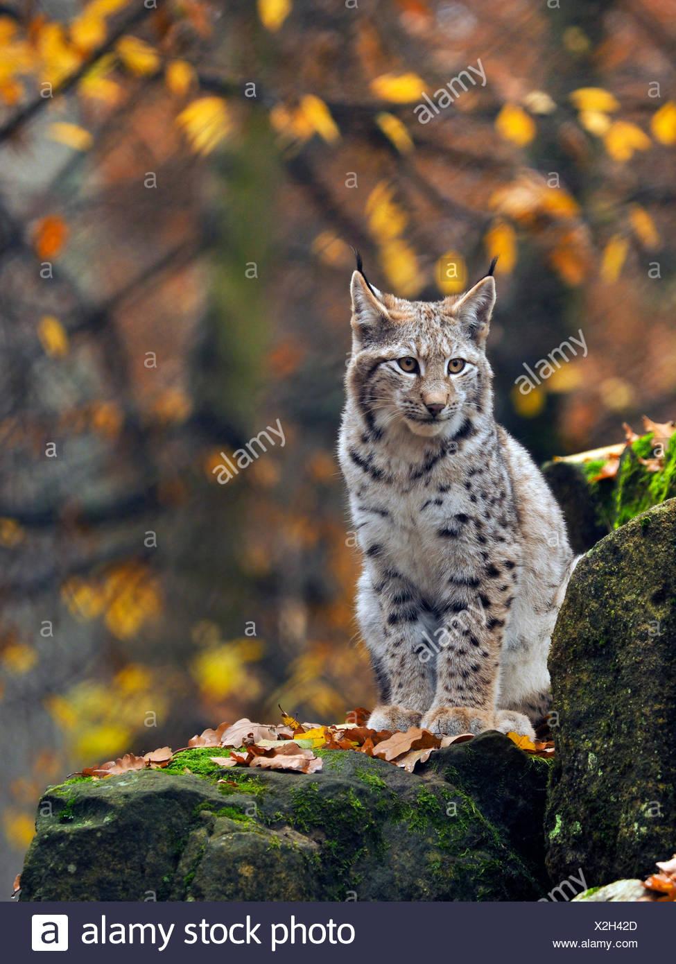 northern lynx (Lynx lynx lynx), young lynx sitting on a boulder, Germany, Bavaria - Stock Image