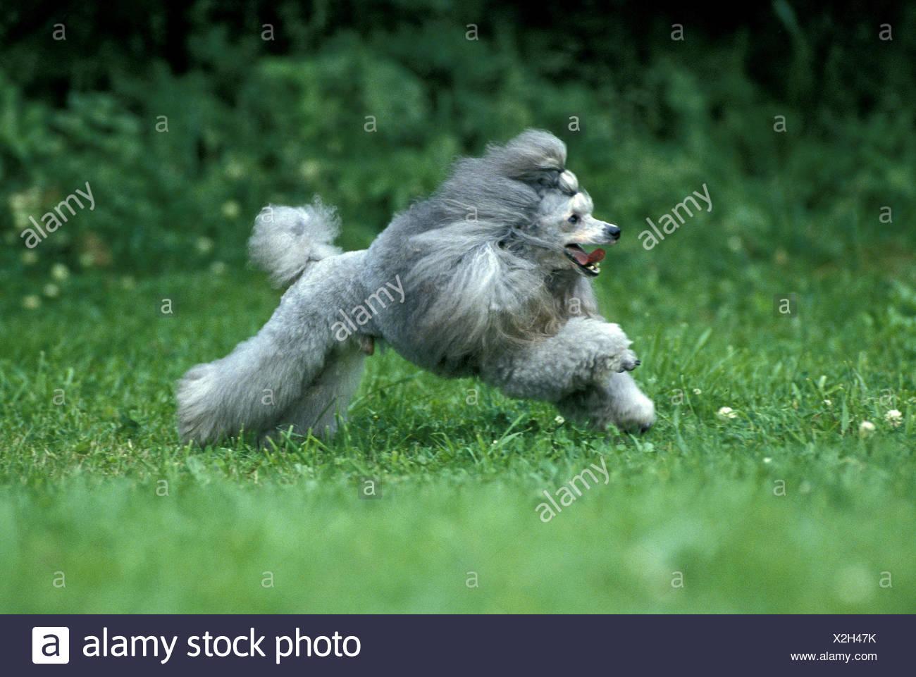 Grey Miniature Poodle Dog, Male running - Stock Image