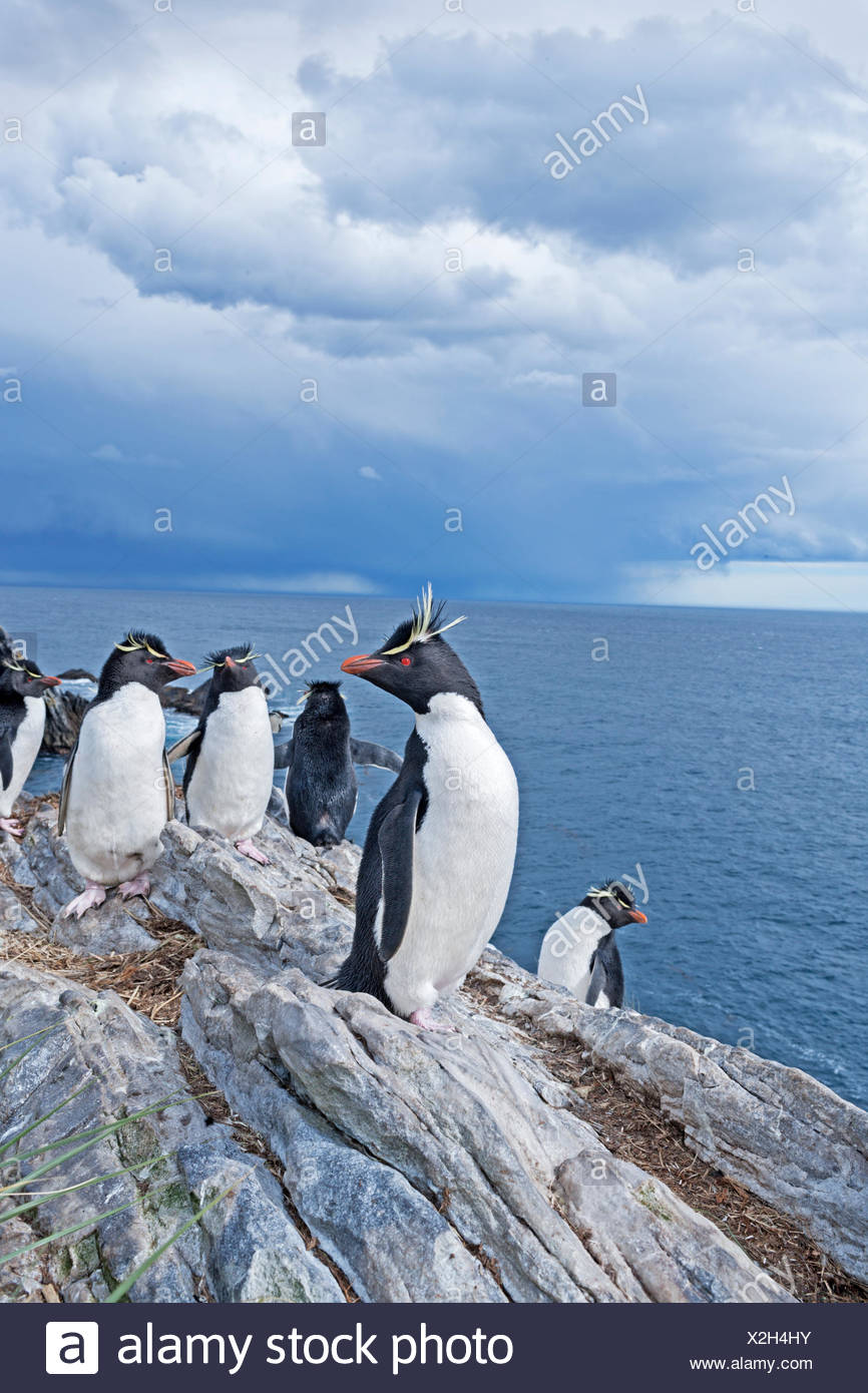 Group of rockhopper penguins (Eudyptes chrysocome) on a rock, South Atlantic, East Falkland, Falkland Islands - Stock Image
