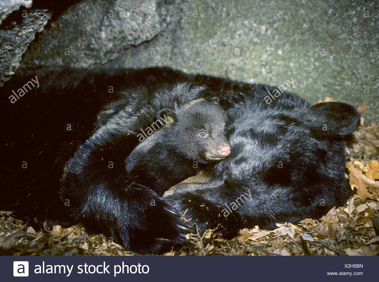 Hibernating mother black bear (Ursus americanus) with three-month old cub. Stock Photo
