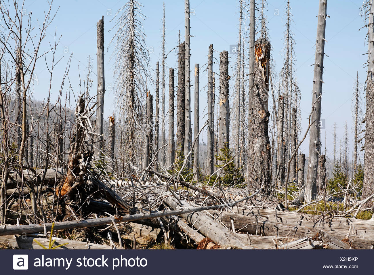 Forest with dead spruces, Bayerischer Wald National park, Lower Bavaria, Germany Stock Photo