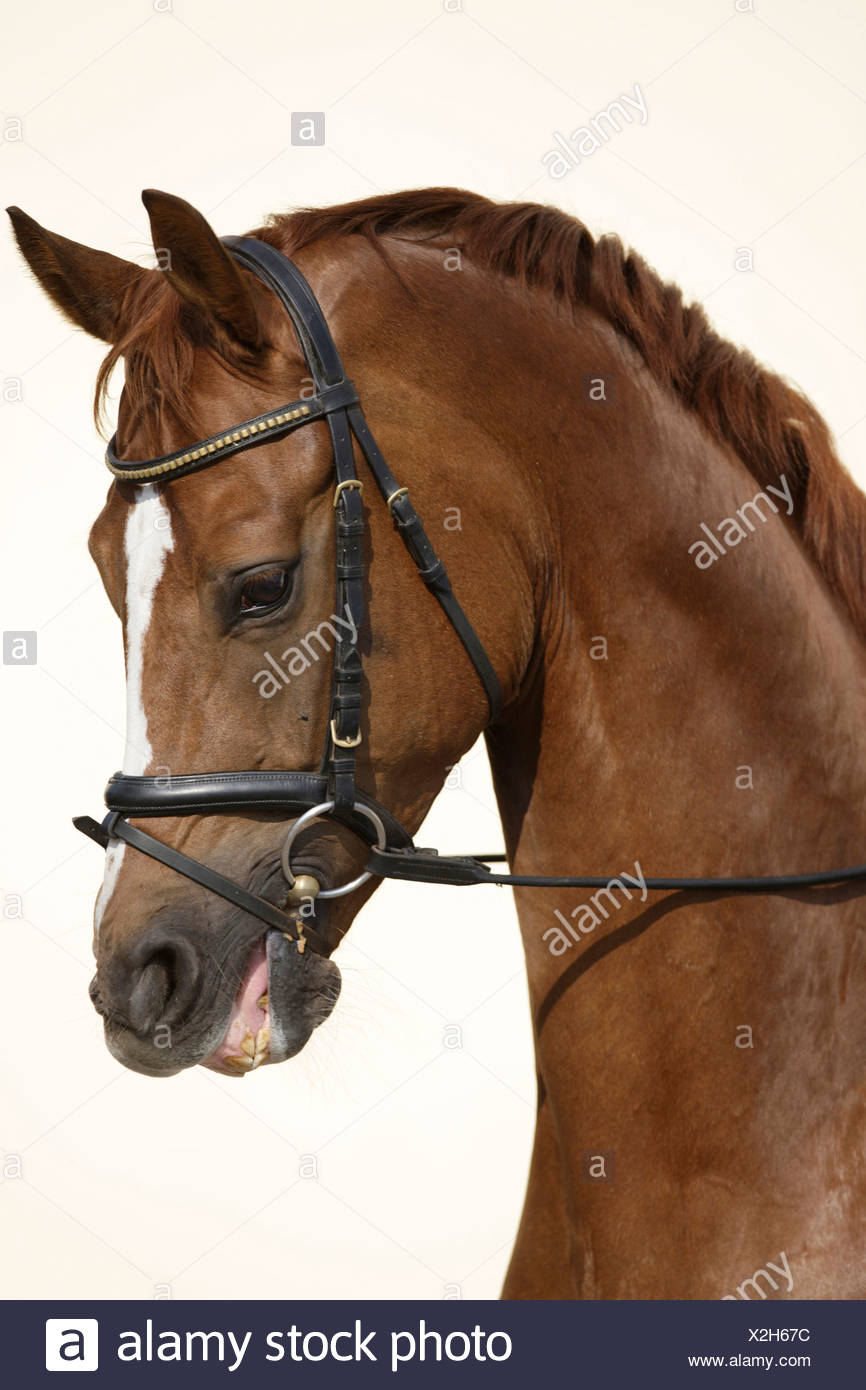 Hanoverian Horse Chestnut Horse With Tack Portrait Stock Photo Alamy