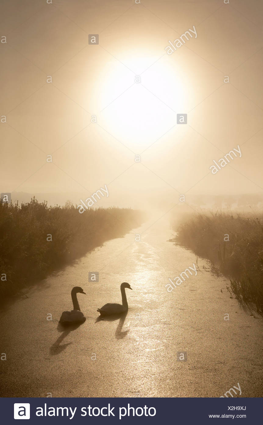 MUTE SWANS (Cygnus olor) in rhyne on the Somerset Levels. Somerset. England - Stock Image