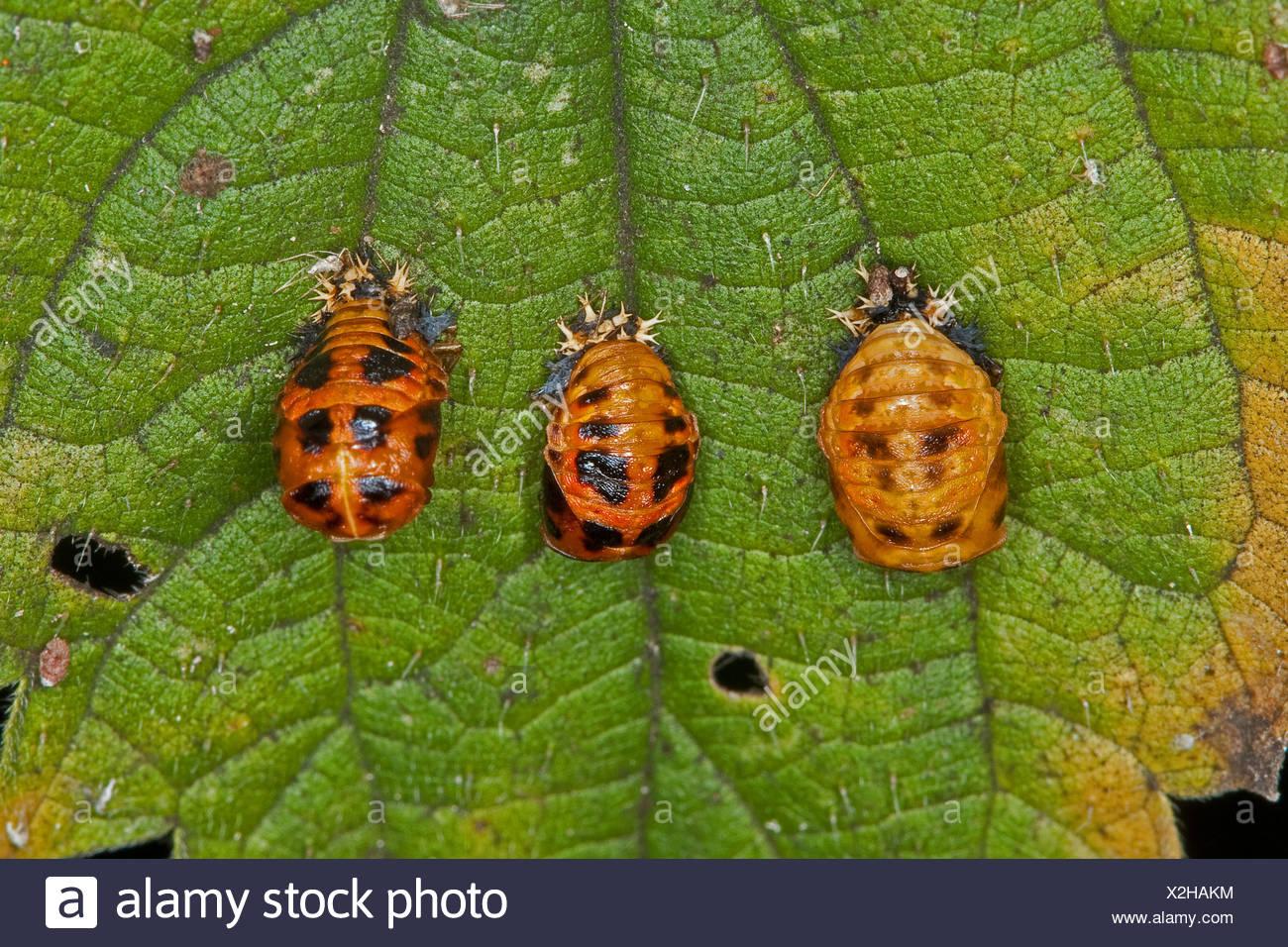 multicoloured Asian beetle (Harmonia axyridis), pupas, Germany - Stock Image