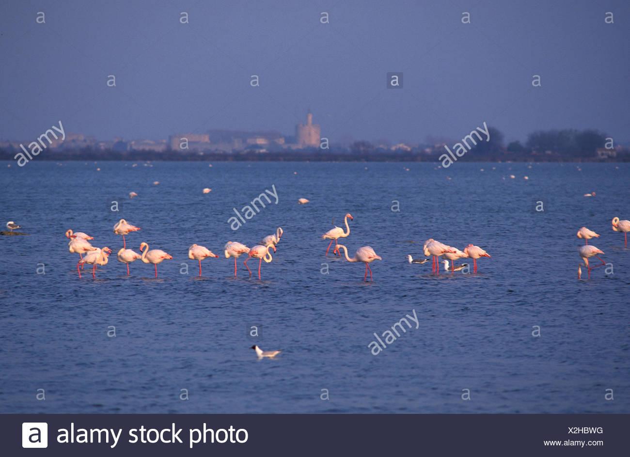 Flamingos, near Aigues-Mortes, Camargue, Provence, France, Europe, birds - Stock Image