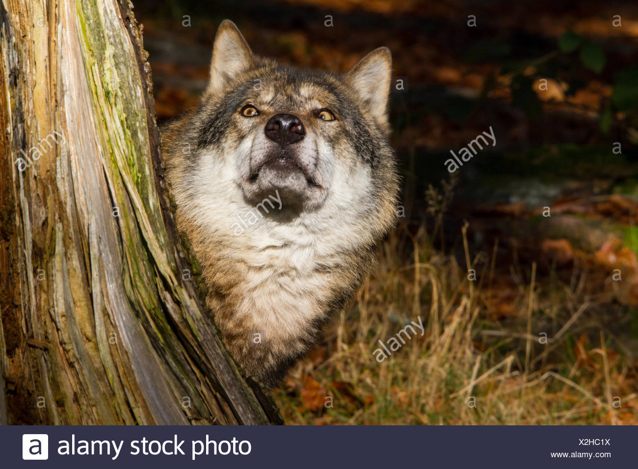 European gray wolf (Canis lupus lupus), looking out from behind a tree root, Germany, Bavaria, Bavarian Forest National Park - Stock Image