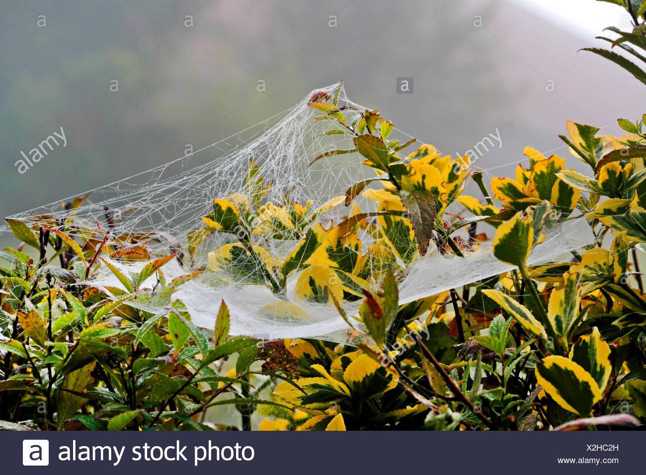 Gemeine Baldachinspinne, Baldachinspinne, Baldachin-Spinne (Linyphia triangularis), Spinnennetz mit Morgentau, Deutschland   She - Stock Image