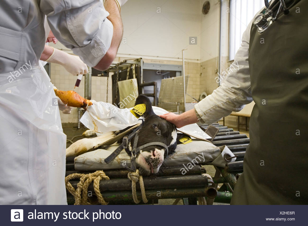 Veterinary surgeons operate on a calf, University of Veterinary Medicine, TiHo, Hanover, Lower Saxony, Germany - Stock Image
