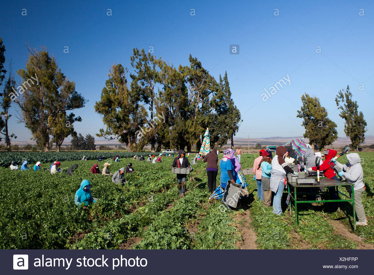 USA, United States, America, California, farmers, harvesting, cotton, farmer, farmers, green, hard, harvesting, land, picking, w - Stock Image