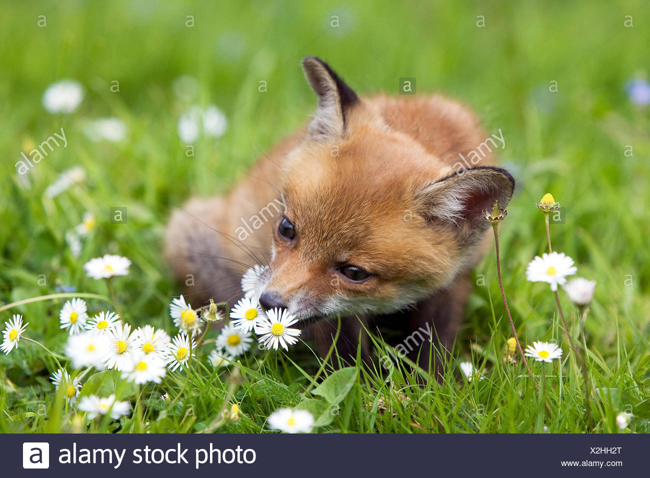 Red Fox, vulpes vulpes, Cub sitting with Flowers, Normandy - Stock Image