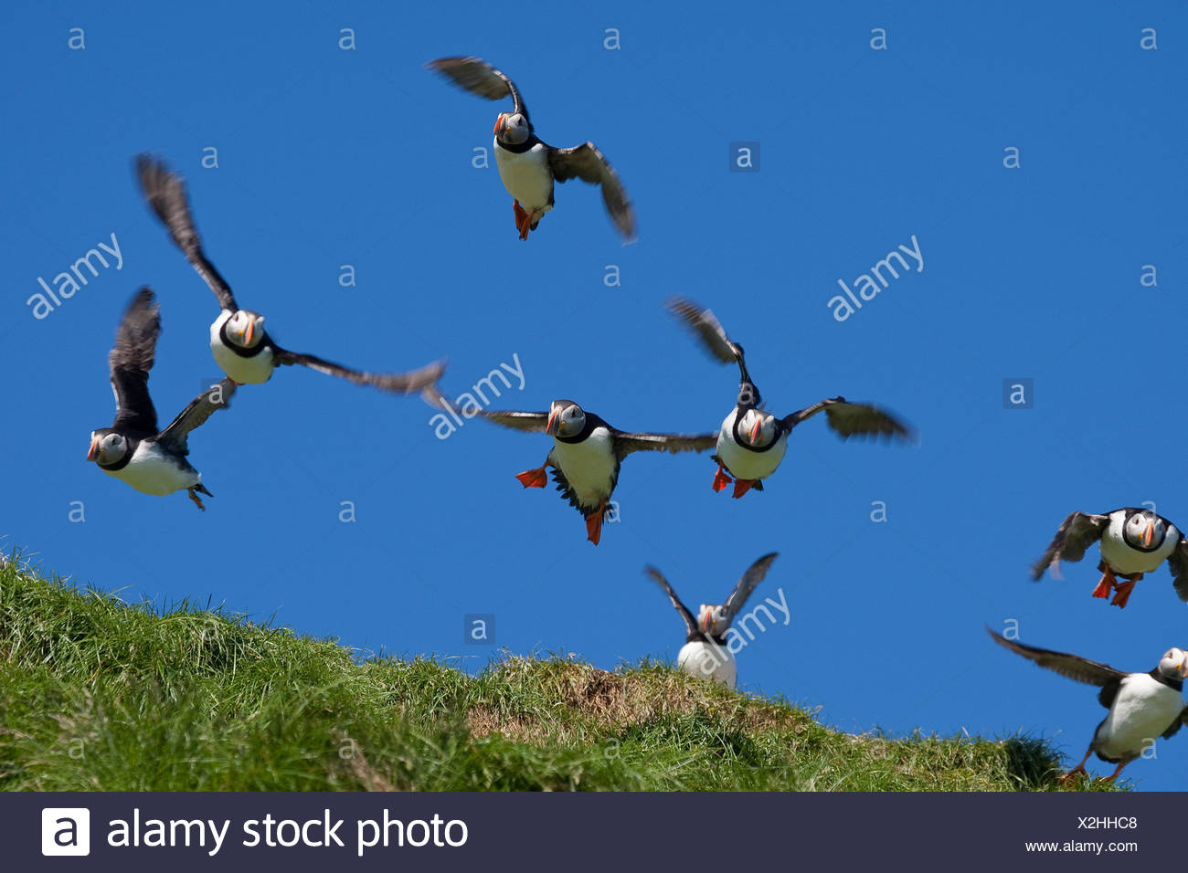 Atlantic puffin, Common puffin (Fratercula arctica), starting from a bird rock Stock Photo
