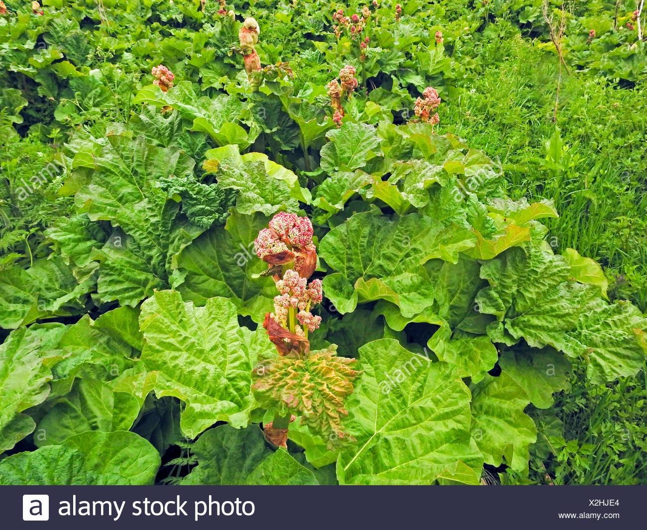 rhubarb (Rheum rhabarbarum), blooming - Stock Image