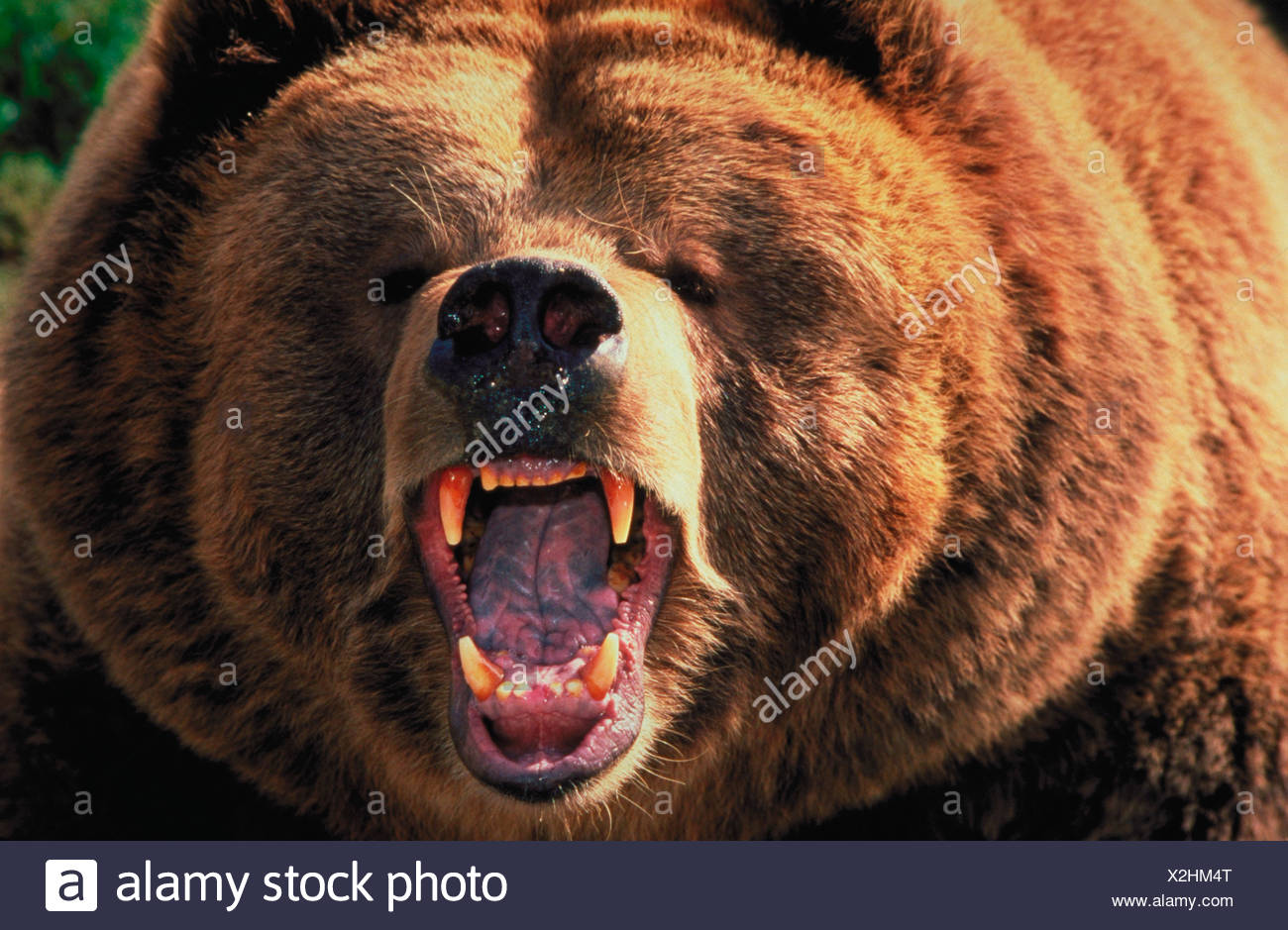 Portrait of a growling Grizzly Bear Ursus arctos showing his teeth - Stock Image