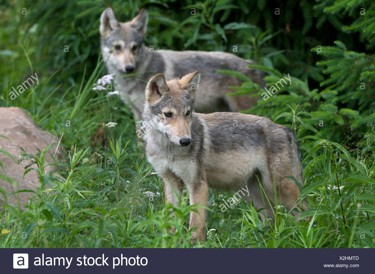 Wolf Pups (Canus lupus) in Boundary Waters Canoe Area, Minnesota, U.S.A, North America - Stock Image