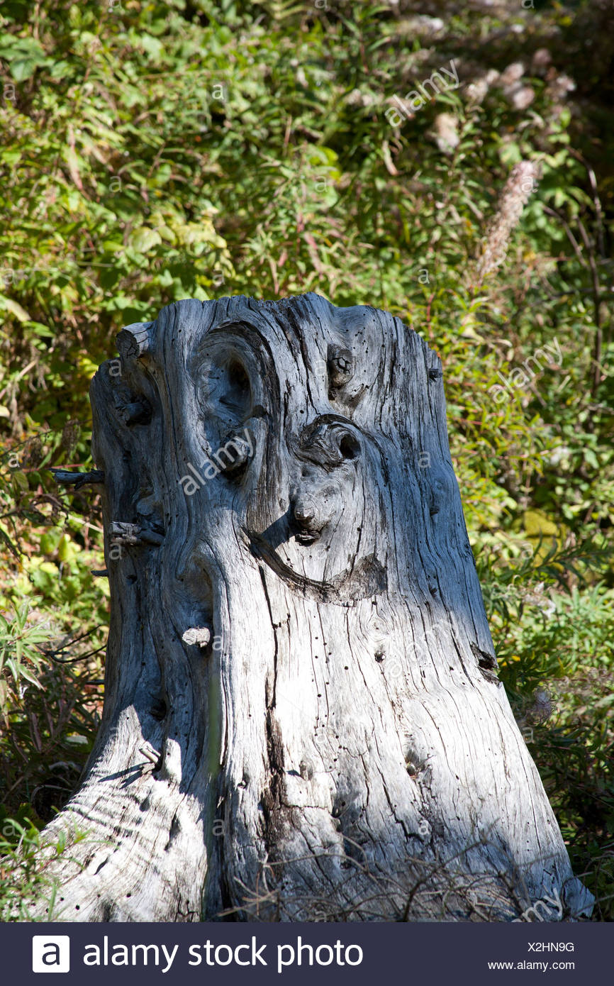 tree stump on which knotholes are completed to a face by carving, Austria, Vorarlberg - Stock Image
